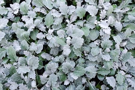 ヘリクリサム petiolare を植物の甘草の植物します。