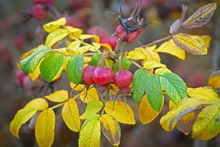 Autumn harvest of berries of wild rose hips. Imagens