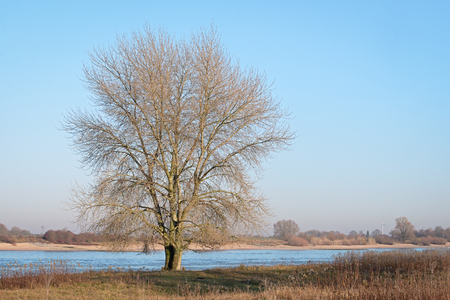 Single leafless tree on the banks of the Dutch river Waal in the evening sun