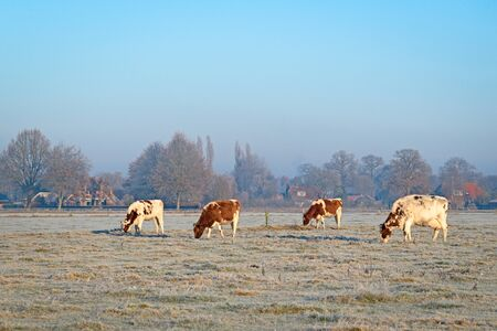 4 cows on a field with grass covered with hoarfrost  during a freezing sunny morning in winter Stock Photo