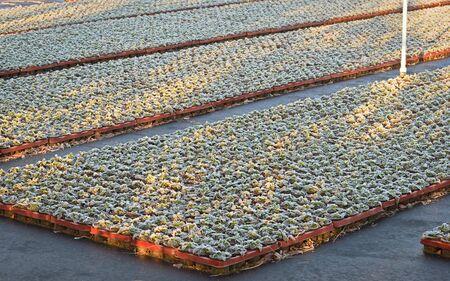 若い寝具に霜植物凍りつくような朝、イオン 写真素材