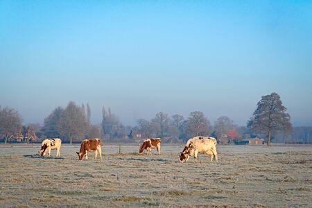 草原の 4 頭の牛が霜で覆われています。