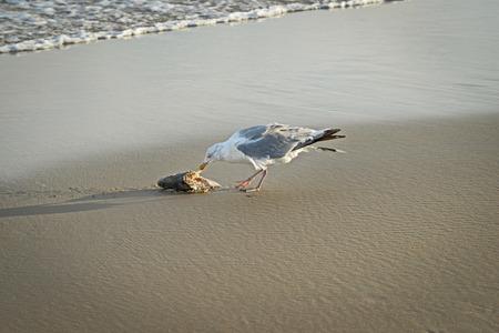 オランダのビーチに打ち上げられた死んだ魚を食べるカモメ