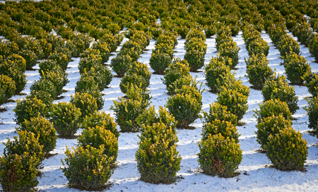 Snow covered rows in a nursery with sculpted boxwood.