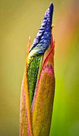 Beautiful bud of a blue lily in rainbow colors