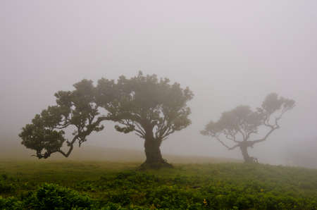 Wafts of mist are laying over the highlands of Madeira over two old trees and generate a spooky atmosphere