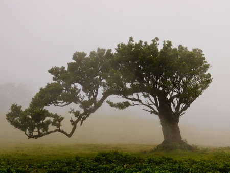 Wafts of mist are laying on the highland of Madeira under an old tree and generate a spooky atmosphere