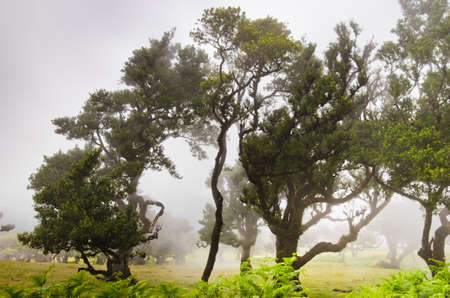 Wafts of mist are laying over the highlands of Madeira through a forest and generate a spooky atmosphere