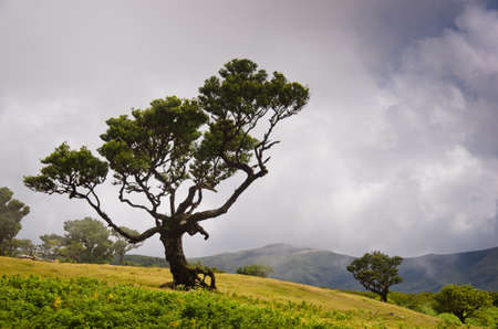 An old bay tree in the highlands of Madeira, some clouds are rising up