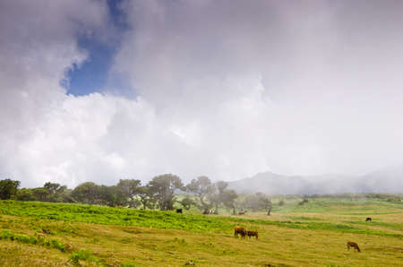 Wafts of mist are laying in the highlands of Madeira and generate a spooky atmosphere. cattle is grassing there.