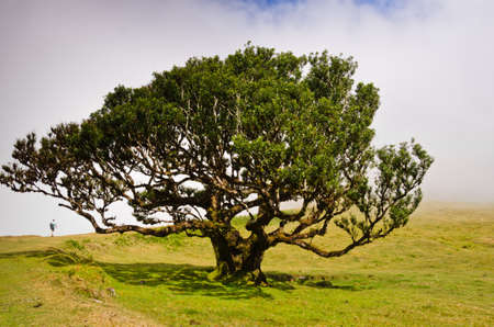 A small single person is walking under an old tree in the highlands of Madeira,