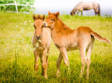 Two cute newborn foals on a meadow in spring i