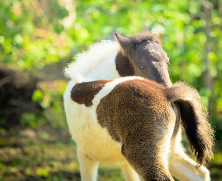 Cute newborn foal scratches and looks around on a meadow in spring