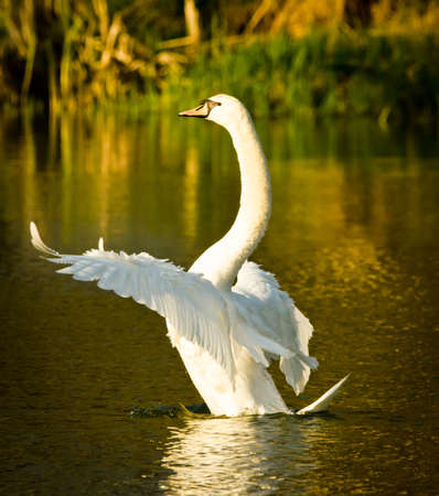 Beautiful white swan flutters, cleans its plumage and swims in the evening sun