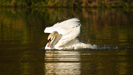 Beautiful white swan flutters and floats in the evening sun