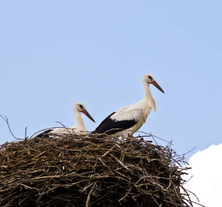 Two storks sit and stand in their nest of branches high on a roof