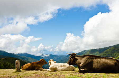 Cows lie comfortably on the slope of a high mountain and enjoy the view