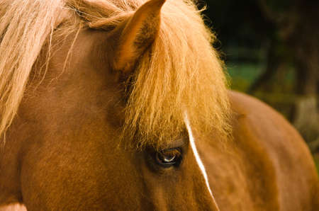 A beautiful, natural portrait of an Icelandic horse, looking cute into the camera