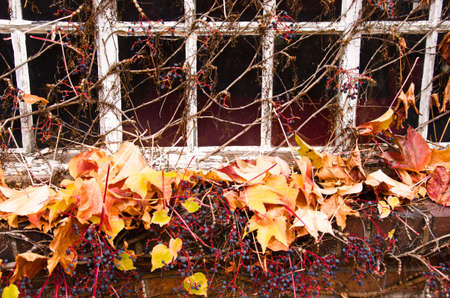 Old windows of an empty house, which became overgrown from leafs of wild wine in autumn