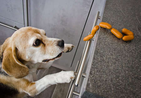 A naughty beagle, a dog, steals sausages