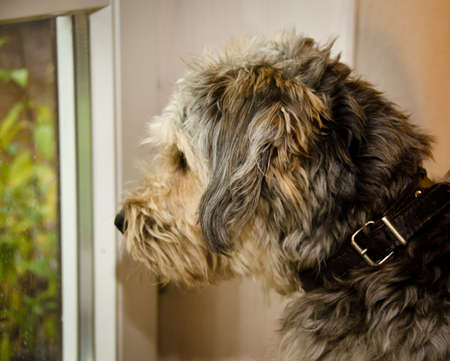 A cute dog, sitting in front of a window and looking out