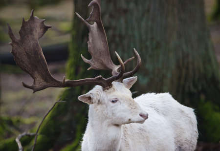 A portrait of a beautiful white deer in a forest