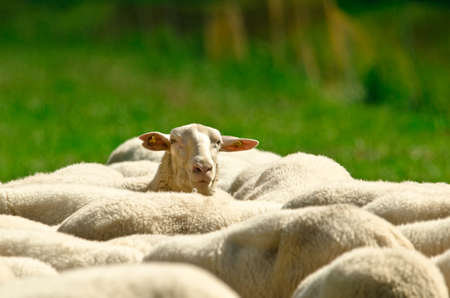 The backs of a herd of sheep with white wool standing in a green meadow, one sheep is looking over all others Banco de Imagens
