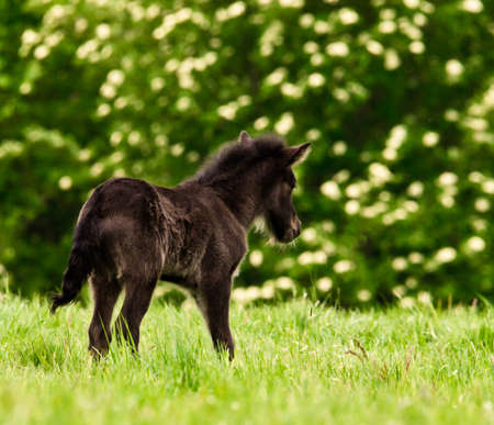 A small cute dark brown, black foal with a white blaze of an Icelandic horse is looking alone in the meadow