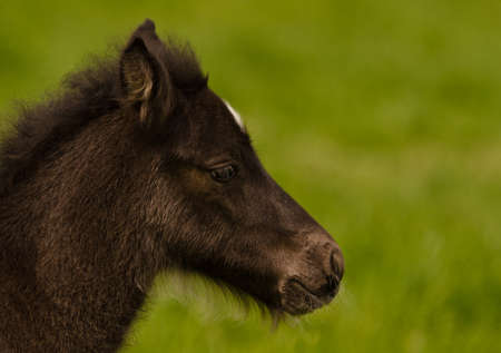 A small cute dark brown, black foal of an Icelandic horse is alone in the meadow Imagens