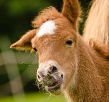 Portrait of a very beautiful small chestnut foal of an Icelandic horse with a white blaze, shajking the head, very funny