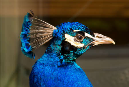 A blue and green iridescend, chatoyand peacock with beautiful feathers and peacock eyes 版權商用圖片