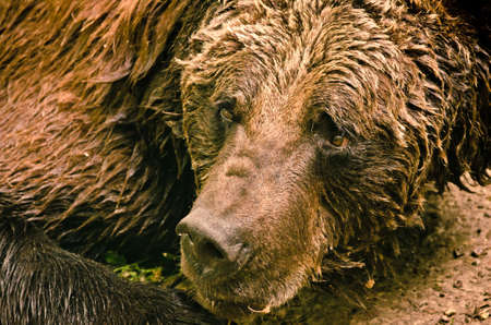 A strong, wet brown bear laying down and relax on the ground, looking very cute, like a teddy