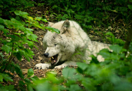 A beautiful white wolf with a warm pelt is dangerous snarling his teeth