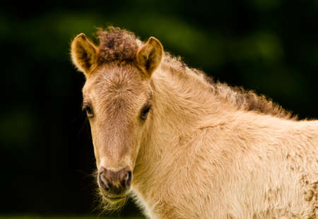 Portrait of a pretty, beautiful, small dunhorse foal, some days old with a fleecy light pelt, an Icelandic horse foal