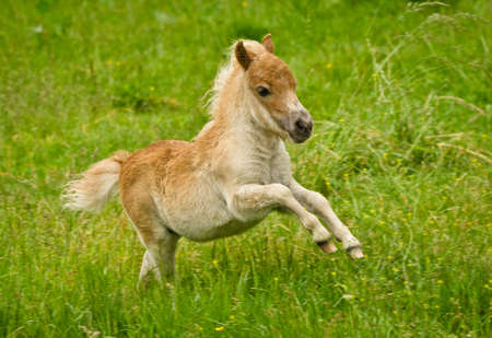 A newborn small chestnut foal of a shetland pony is galloping cheerful alone in the meadow Imagens