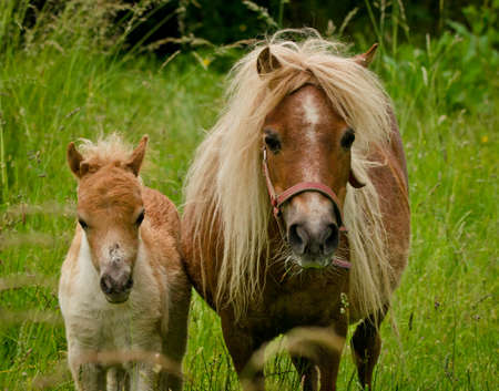 A newborn small foal of a chestnut shetland pony looks cute and awesome into the camera for a portrait