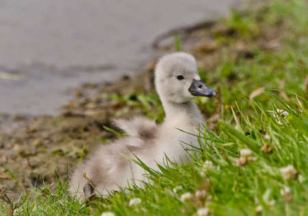 A very small and fluffy little swan, just squabbled, newborn, rests and gaggles at the banks of a lake. Very cute and awesome. 版權商用圖片