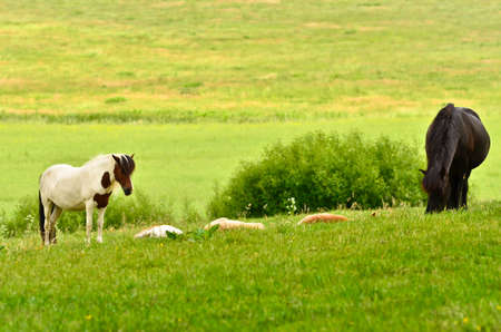 Two mares of Icelandic horses are watching over the cute sleeping foals of the herd in the wide grassland 版權商用圖片