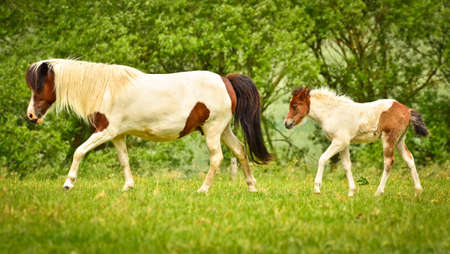 A mare of Icelandic horse is watching over the cute foals of the herd in the wide grassland 免版税图像