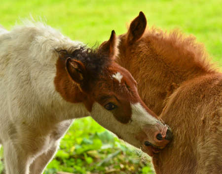 Two cute and awesome little foals of Icelandic horses, a skewbald and a duncolored one, are playing and grooming together and practice social learning, interaction and behavior in a herd