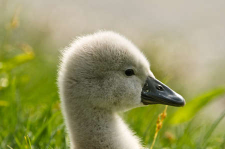 Portrait of a very small and fluffy little fledgling of a swan, just slipped, newborn, in profile with many details
