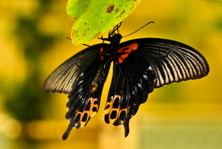 A very beautiful colorful butterfly, very fragile, macro, with many details, banana, swallow tail, papilio torquatus Stock Photo