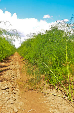A field of growing green asparagus after the harvest on sandy ground and in front of blue sky Standard-Bild