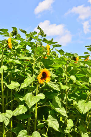 A very beautiful field of blooming sunflowers in an rural area with blue sky and white clouds