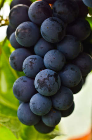Very delicous and tasty bunch of blue and sweet grapes as a macro