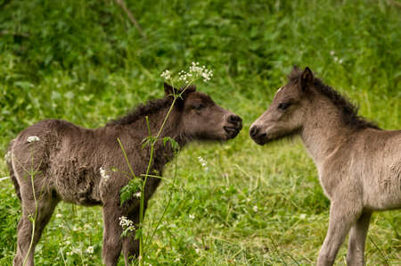 two gray, dun colored sweet foals playing and staying together in the meadow Imagens