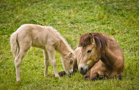 A light brown mare and its newborn white foal are grooming treasured and providently together