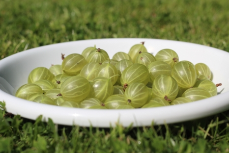gooseberry photo