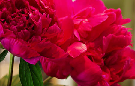 A close-up image of peonies to be used as a background