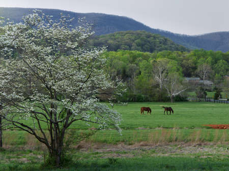 2 Horses grazing in a mountain pasture with a blooming dogwood tree on spring day. Stock Photo
